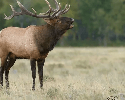 Waterton Wildlife Weekend - Waterton Lakes National Park holds the most wildlife diversity than any other national park in Canada. In fact, it is rare to not see mule deer, elk, big horn sheep or black bear.